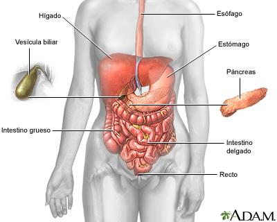 para qué nos sirve el intestino delgado